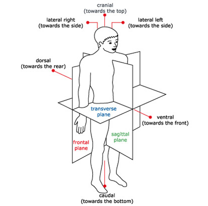 Lateral Direction Definition Types Of Body Movements Anatomy And